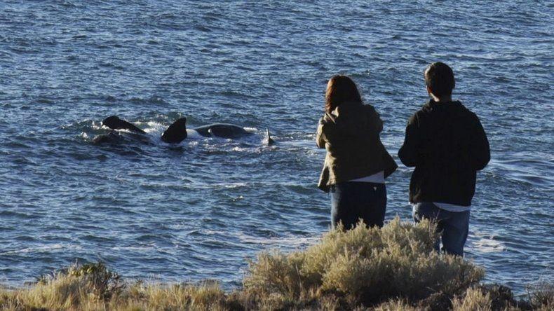 La pleamar que se registró ayer por la mañana posibilitó que los grupos de ballenas francas fueran observados a escasos metros de la línea de rompiente de olas.