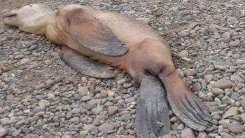 Aparecen lobos marinos muertos en la costa caletense