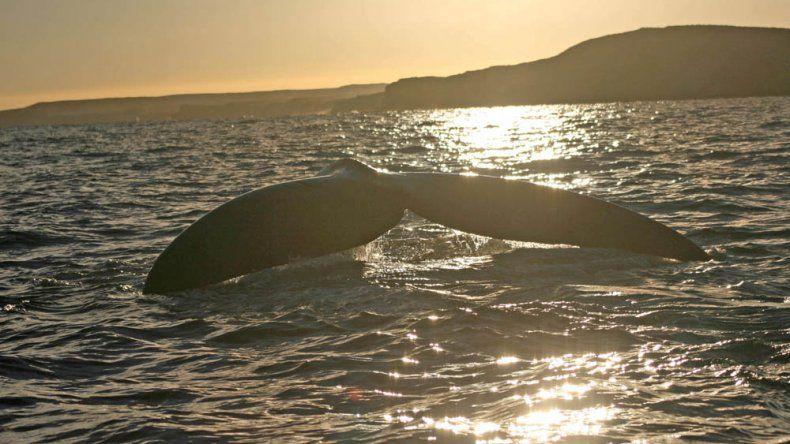 Chubut vive la temporada de Ballenas más numerosa de los últimos años