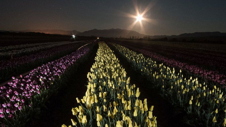 Los tulipanes de la Patagonia