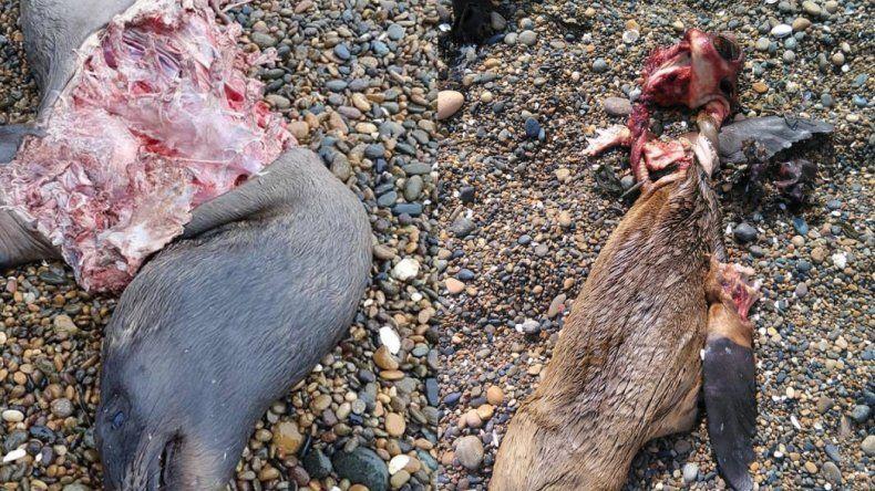 Perros atacaron a lobos marinos en la Reserva de Caleta Olivia