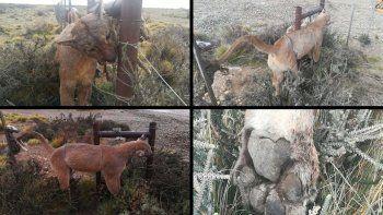denuncian masacre de pumas en manantiales behr