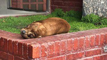 Un lobo marino durmió siesta en un cantero de Madryn