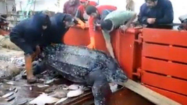 Pescadores devolvieron al mar una tortuga enorme que apareció en su red