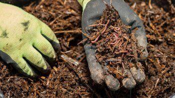 El humus de lombriz es el producto final de su digestión y constituye un excelente regenerador orgánico de los suelos.