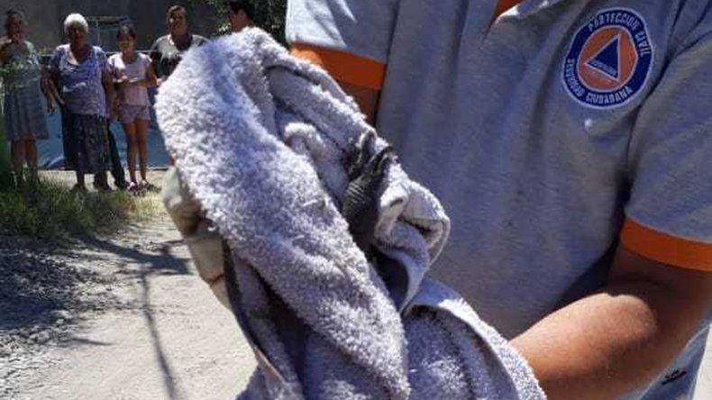 Conocé al dragón patagónico que liberaron