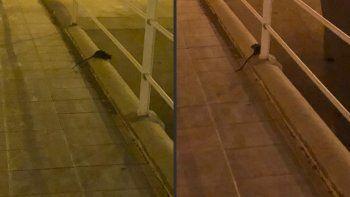 Vecinos preocupados por la presencia de ratones colilargos