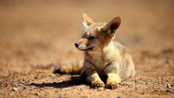 La caza de pumas y zorros favoreció la proliferación de ratones