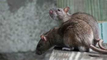 El municipio de Rada Tilly confirmó la plaga de roedores
