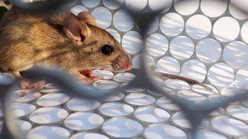 Desde el CONICET realizaron un informe especial sobre el Hantavirus
