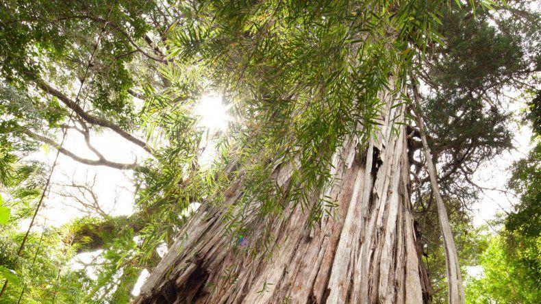 Alerce Abuelo en el corazón milenario del Parque Nacional