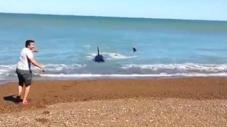 Quería saludar a las orcas y se le aparecieron a sus pies