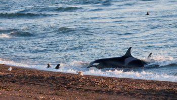 arranca la temporada de orcas en peninsula valdes