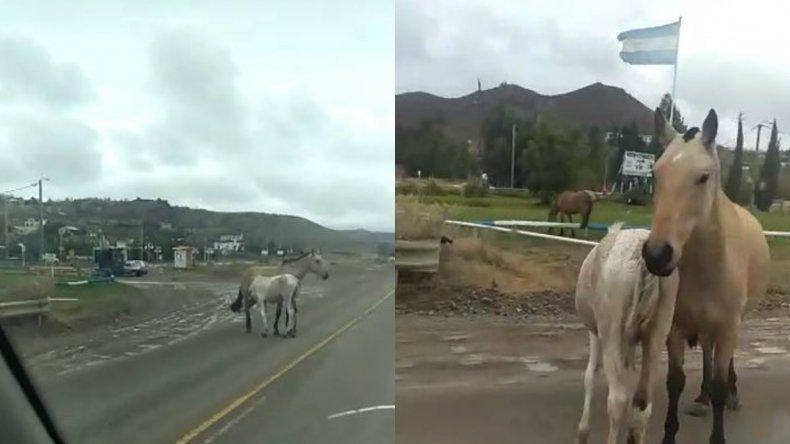 Alertan por el peligro de animales sueltos en Km 12