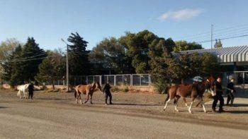 la policia secuestro caballos sueltos