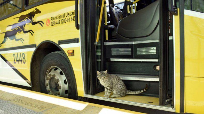 Un gato inauguró el Metrobus de Neuquén