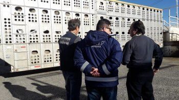 Un frigorífico comodorense importó ovinos desde Chile
