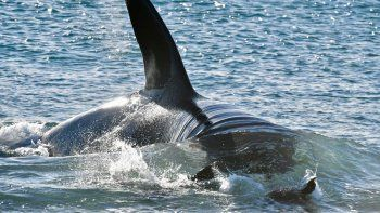 chubut vive una excelente temporada de orcas
