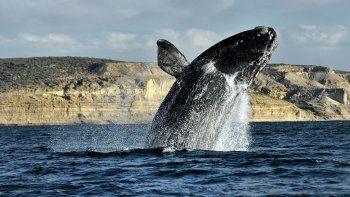 llegan las primeras ballenas francas a peninsula valdes