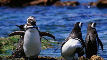 el pingüino, amenazado por el cambio climatico y la contaminacion