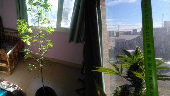Secuestran planta de marihuana en una casa