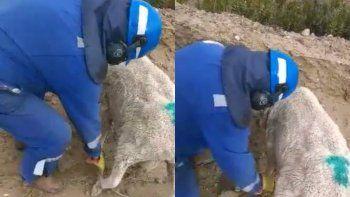 Cosas que pasan camino a yacimiento: petroleros liberaron a una oveja