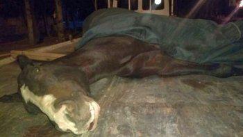 obligaron a un caballo a correr quebrado y lo ejecutaron de un tiro