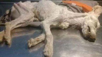 Felipe, el caniche que murió al ser abandonado encerrado sin agua ni alimentos en un departamento de LU4.