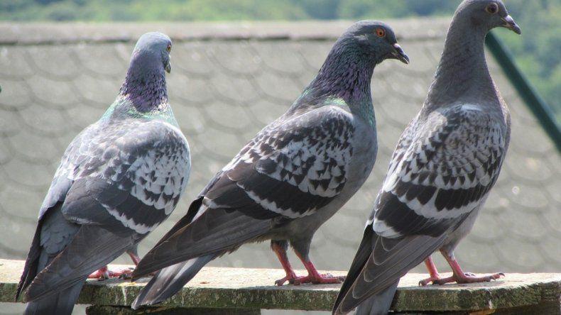 Presos por robar palomas para comer