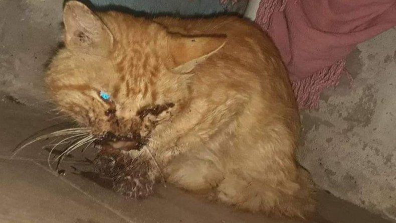 Le rompieron la mandíbula y le sacaron un ojo a un gato