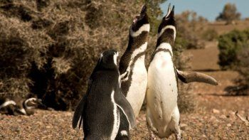 El 13 de septiembre comienza la Temporada de Pingüinos de Magallanes en  Punta Tombo