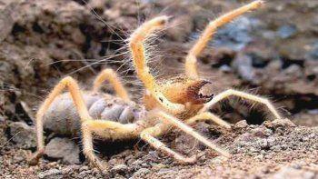 Una nueva especie de araña que habita en Argentina comería carne humana