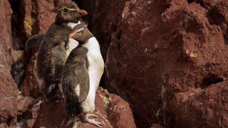 Comienza la temporada de pingüinos de penacho amarillo en Puerto Deseado