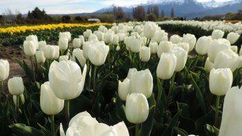 se viene la epoca de tulipanes en trevelin