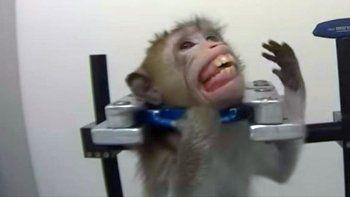 asi son los crueles experimentos de un laboratorio con monos, gatos y perros