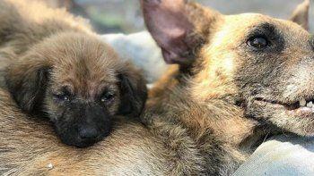 conmovedora historia de un cachorro que no se separo de su madre mientras ella agonizaba