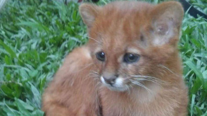 Cuidó durante dos meses un puma creyendo que era un gato