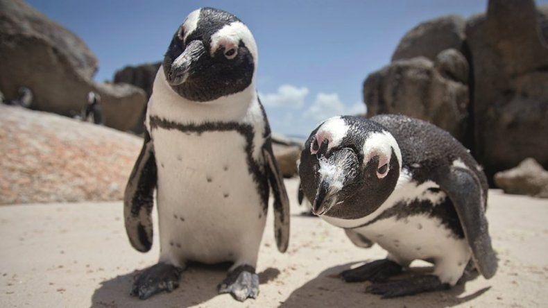 Una pareja de pingüinos robaron un huevo para ser padres