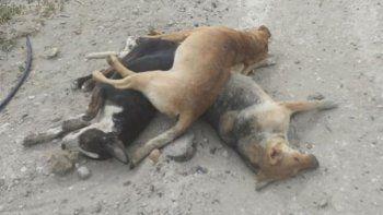 denuncian envenenamiento masivo de perros en km 17