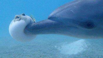 Graban a grupo de delfines cuando se drogaban con un pez globo