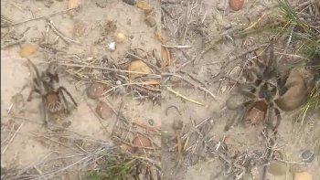 aparicion de aranas peludas en zona norte genera preocupacion