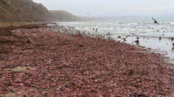 impresionante invasion de peces pene en las playas