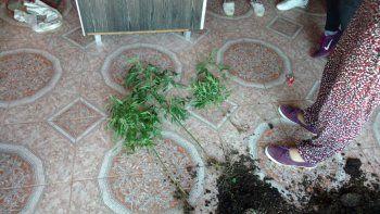 Fueron por un robo y encontraron plantas de marihuana