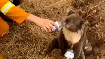 El incendio en Australia mató a la mitad de la población de koalas y van rumbo a la extinción