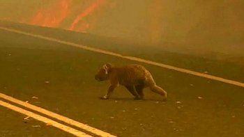 estiman que por los incendios en australia ya murieron mas de mil millones de animales