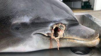 la aparicion de delfines asesinados a balazos genera preocupacion