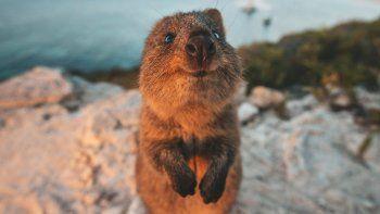quokka: el animal mas feliz del mundo