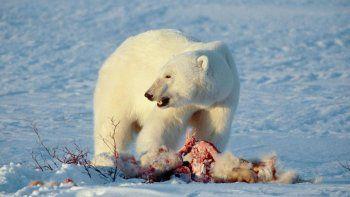 por el calentamiento global aumenta el canibalismo entre los osos polares