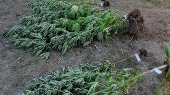allanamiento, persecucion y un invernadero con 22 plantas de cannabis