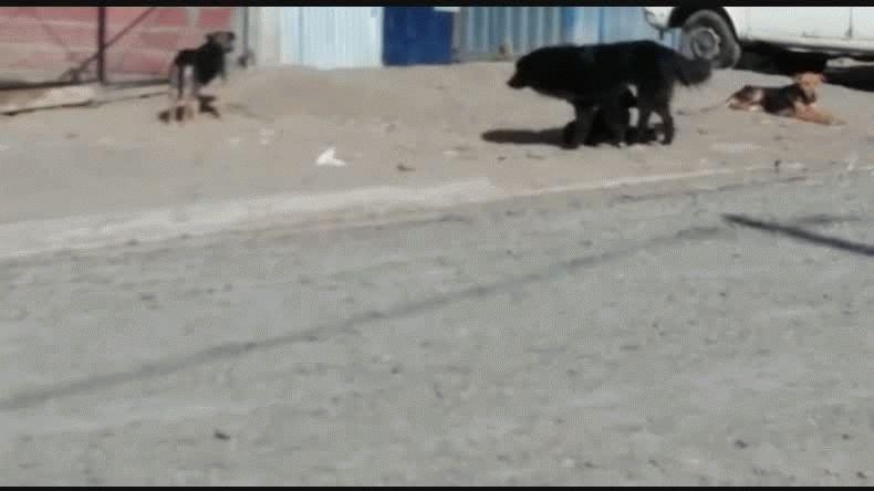 Los perros que ocasionaron el lamentable incidente un día despuès de lo ocurrido y denunciado continúan en el lugar